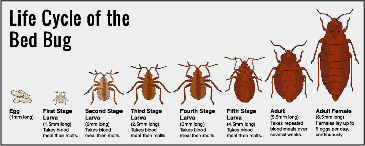 How To Detect Resolve And Prevent Problems With A Bed Bug